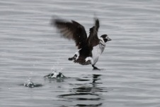Long-tailed Duck (f) takes off (TC)