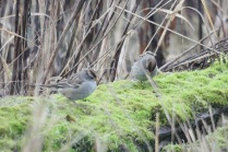juv. White-crowned Sparrows (TC)