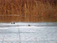 River Otters (BD)