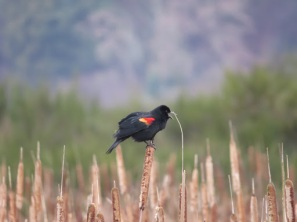 Red-winged Blackbird (BD)