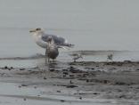 Gulls & Sanderlings (BK)