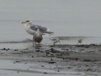 Gulls & Sanderlings (BK)