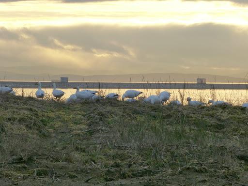 Snow Geese (BK)