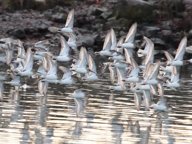 Dunlin flock (JM)