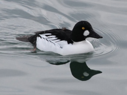 Common Goldeneye (m) (JM)
