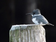 Belted Kingfisher (m) (JM)