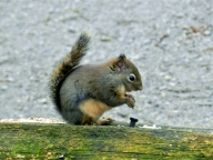 Douglas Squirrel (KB)