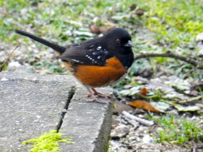 Spotted Towhee (m) (KB)