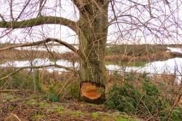 Beaver cut (MS)