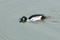 Common Goldeneye (m) (MS)