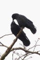 American Crows (MS)