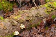 Fungi (MS)