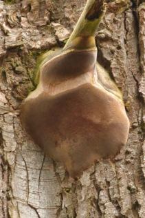Fungi filler (MS)