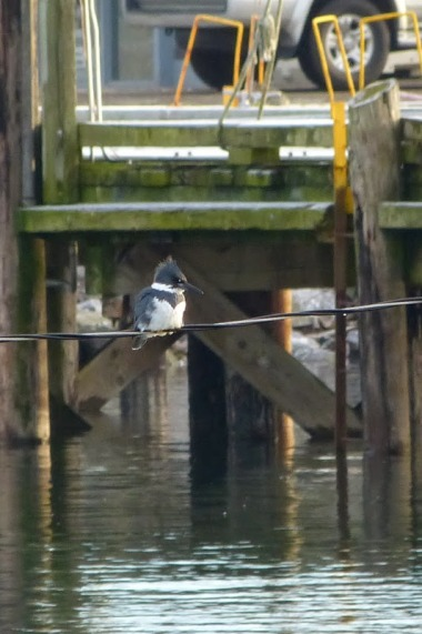 Belted Kingfisher (m) (MS)
