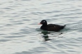 White-winged Scoter (m) (MS)