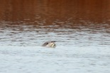 River Otter with fish (TC)