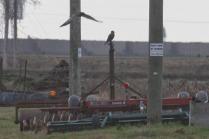 Praire Falcon & Harrier (TC)