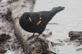 Redwinged Blackbird (TC)