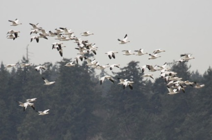 Snowgeese (TC)