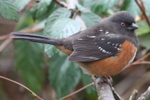 Spotted Towhee (f) (TC)