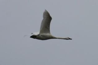 Trumpeter Swan (TC)