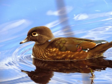 Wood Duck (f) (GB)