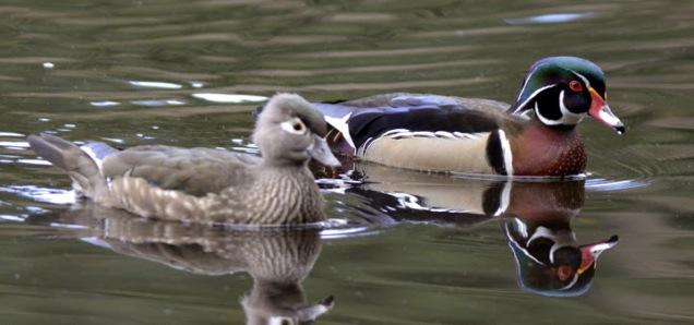 Wood Duck pair (GB)