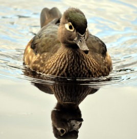 Wood Duck (f) GB)