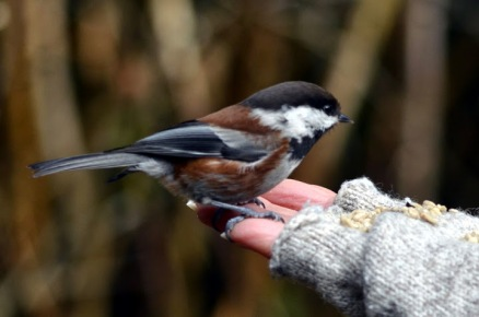 Chestnut-backed Chickadee (GB)