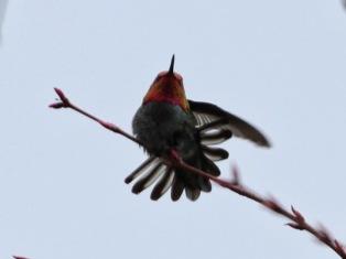 Anna's Hummingbird (m) (JM)