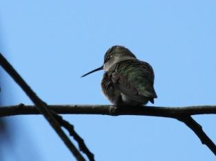 Anna's Hummingbird (f) (JM)