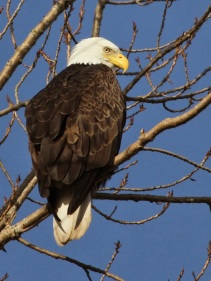 Bald Eagle (JM)