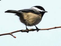 Black-capped Chickadee (JM)