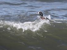 Harlequin Duck (m) (JM)