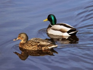 Mallards (female & male) (JM)