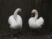 Mute Swans (JM)