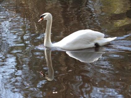 Mute Swan (JM)