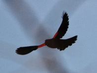 Red-winged Blackbird (male) (JM)