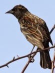 Red-winged Blackbird (female) (JM)