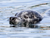 Harbour Seal (JM)