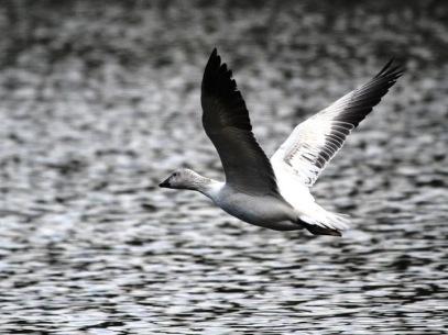 Snow Goose (JM)