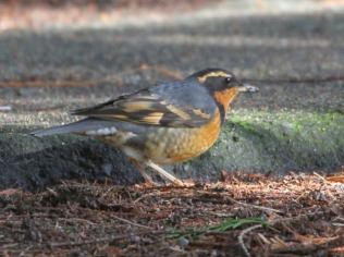 Varied Thrush (JM)