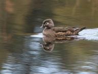 Wood Duck (f) (JM)