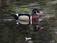 Wood Duck (m) (JM)