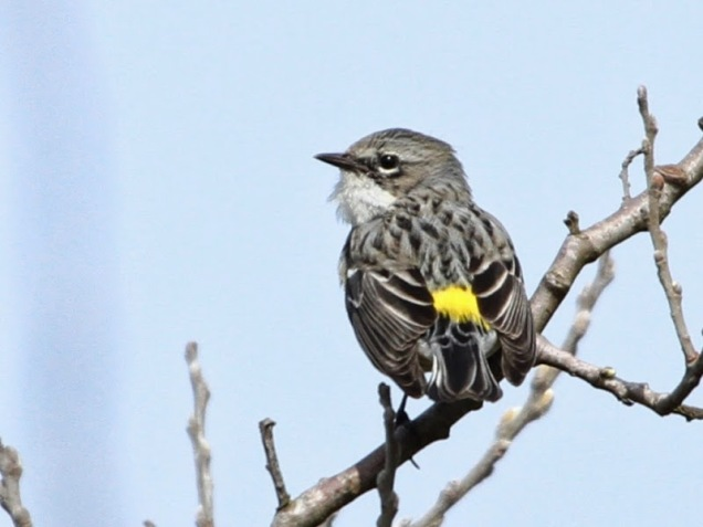 Yellow-rumped Warbler (Myrtle) (JM)