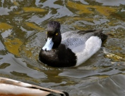 Lesser Scaup (KB)