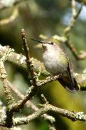 Anna's Hummingbird (f) (MS)