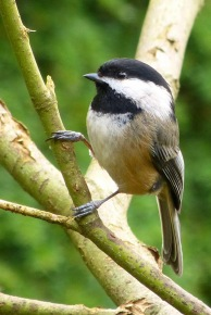 Black-capped Chickadee (MS)