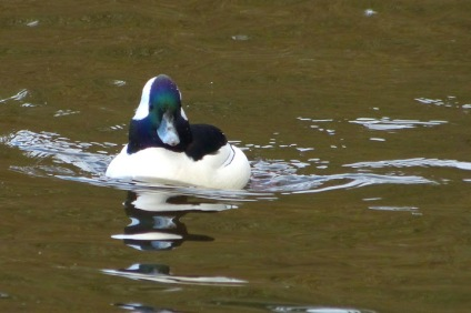 Bufflehead (m) (MS)