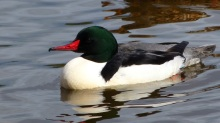 Common Merganser (m) (MS)